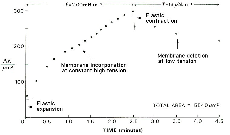 The response of the membrane area to increase, constant, decrease and constant tension