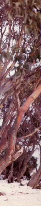 photo of snowgums